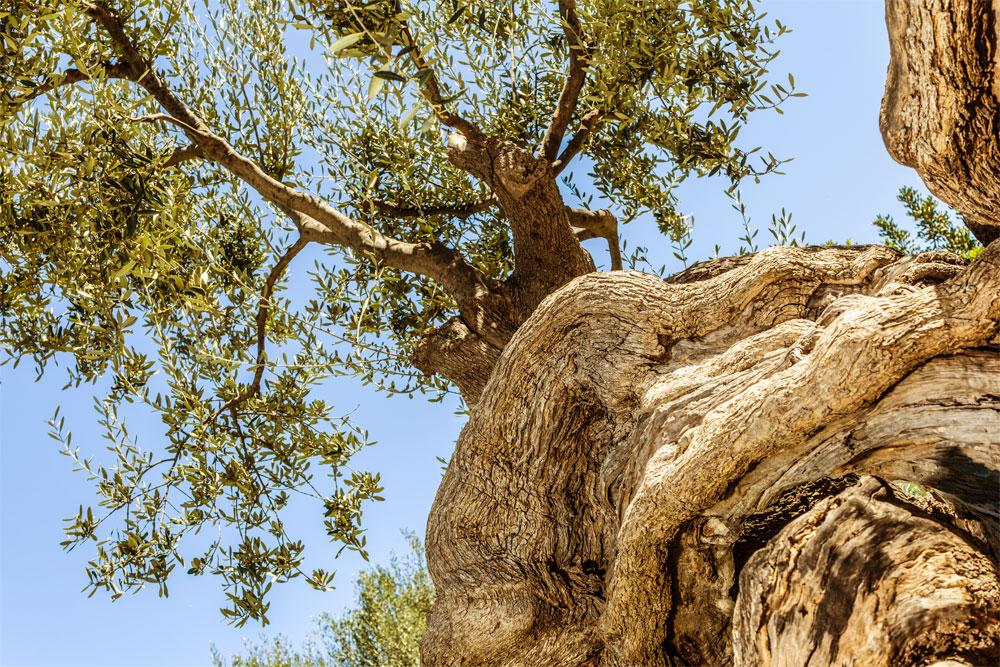 kleos olive trees